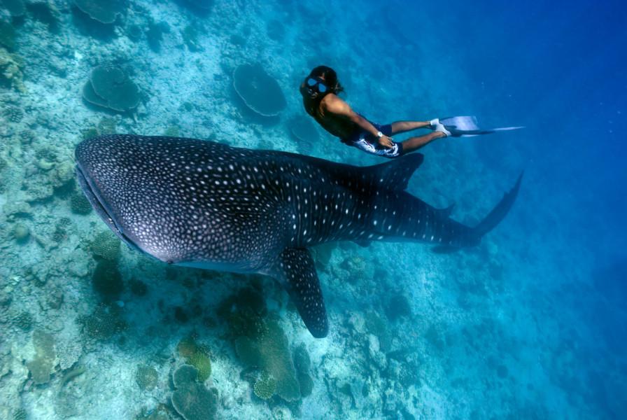 Freediver and Whale Shark (Rhincodon typus)