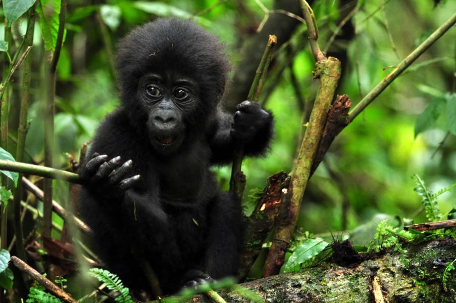 Gorilla Tour Uganda
